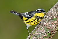592010018 a wild male magnolia warbler setophaga magnolia - was dendroica magnolia - in breeding plumage perches in a tree on south padre island cameron county texas united states