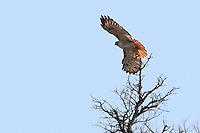Red-tailed Hawks soar above open fields, slowly turning circles on their broad, rounded wings.