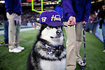 Dubs, Mascot, Husky. The University of Washington beat Washington State University to win the 2011 Apple Cup 38-21 at Century Link Field in Seattle on Saturday November 26, 2011 (Photography By Scott Eklund/Red Box Pictures)