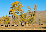 Bison in the Cottonwoods, Lamar Valley in Autumn, Yellowstone National Park, Wyoming
