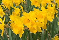 Narcissus Gigantic Star daffodils