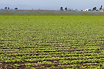 Sprinklers deliver a drink of water to a fresh crop of lettuce in California's fertile valley.