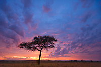Morning sunrise over the unbrella acacia tree, Masai Mara, Kenya, Africa