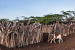 "Goat exiting a corral in a Wayuu ""rancheria"", or traditional rural settlement.  The Wayuu indigenous of La Guajira, Colombia, are traditional goat herders and depend on the animals for food, milk and income."