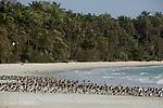Reposoir de larides (sternes et mouettes), de barges et de  becasseaux sanderling a maree haute sur l ile Meio