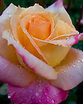 A rose, moments after the rain started.  © Rick Collier