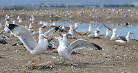 California Gull (Larus californicus) colony, San Francisco Bay, California, USA.