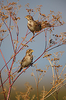 Corn Buntings perching on vegetation, Bagerova Steppe, Kerch Peninsula, Crimea, Ukraine