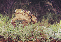 Giant Toad (Bufo marinus), adult jumping, Rio Grande Valley, Texas, USA