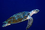 Green Turtle, Chelonia mydas, Sipadan Island, swimming in blue, Celebes Sea, Sabah Borneo.Malaysia....