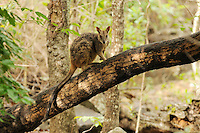 Allied Rock-Wallaby (Petrogale assimilis), Queensland, Australia