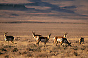 Pronghorn at Hart Mountain National Antelope Refuge, southeast Oregon. .