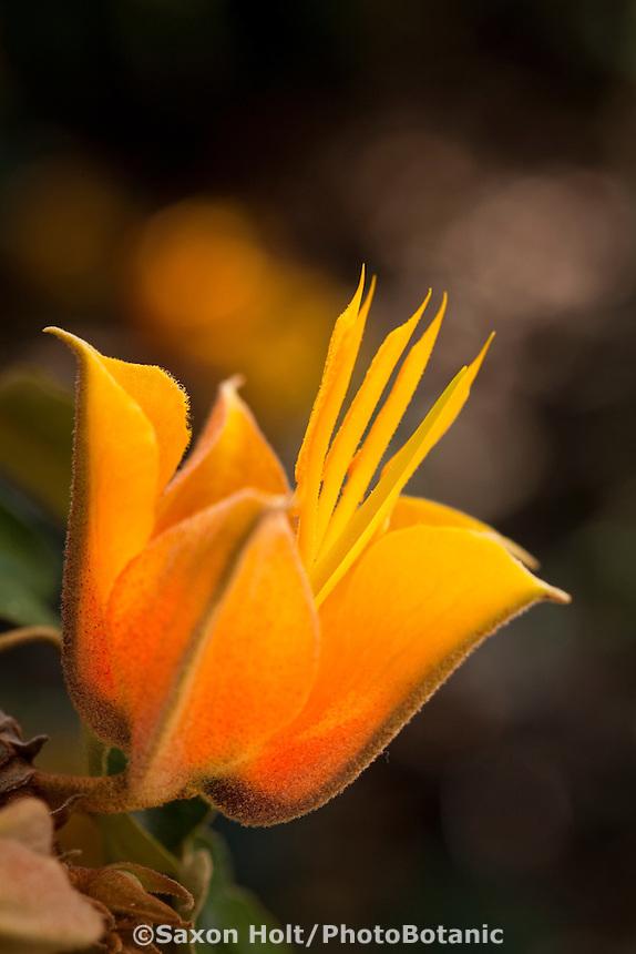 Golden yellow flower of Hybrid Monkey Hand Tree (X Chiranthofremontia lenzii)