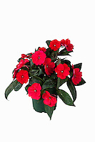 SunPatiens, Spreading Carmine Red, Sakata