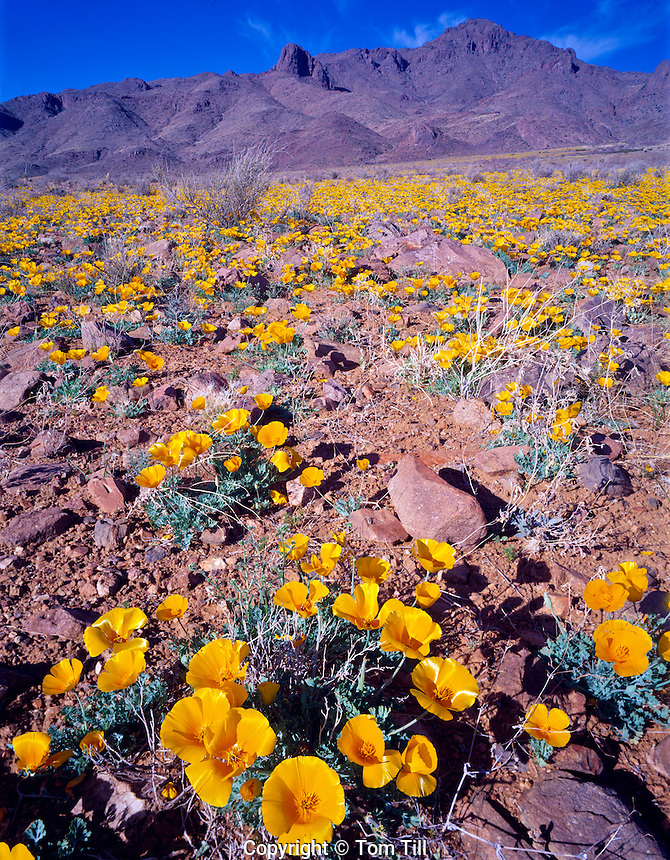 Mexican gold poppies in Florida Mountains Wilderness Study Area, Near Deming, New Mexico