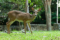 Young deer grazing along the North Shore road on the way to Maho Bay<br /> St. John<br /> U.S. Virgin Islands