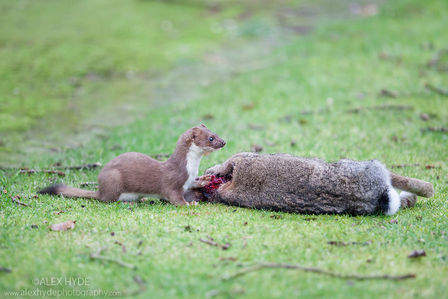 European Stoat {Mustela erminea} feeding on a rabbit it has just killed. The National Forest, Leicestershire, UK. December.