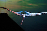 Suspended by guide wires a Ornithocheiurs with a massive wing span of 39 feet soars at the Tacoma Dome in Tacoma, Washington on July, 11, 2007.  The 90-minute show, Walking with Dinosaurs - The Live Experience, based on the award-winning BBC Television series kicked off it's seven city Summer tour in the U.S. and Canada. 15 dinosaurs which roamed the earth about 208 million years ago, have been brought back to life via truck batteries, hydraulics and puppeteers.  (&copy; 2007 Jim Bryant Photography).