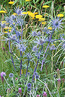Eryngium Sapphire Blue in flower with Achillea and smaller Eryngium