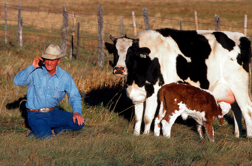 Cowboy talking on cell phone while tending a cow and her calf in the field.
