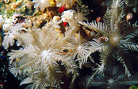 CORAL REEFS<br /> Soft Coral Feeding<br /> Soft corals are an order of corals which do not produce calcium carbonate skeletons and so are neither reef-building corals nor do they lay new foundations for future corals.