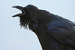 Raven calling in Yellowstone National Park, Wyoming.