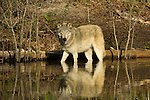 Florida Wolf cooling off at Seacrest wolf preserve