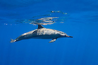 long-snouted spinner dolphin, Stenella longirostris, Kealakekua Bay, Big Island, Hawaii, Pacific Ocean