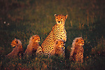 Cheetah with Four Kittens, Serengeti Plains, Tanzania. Following a ninety to ninety-five day gestation period, up to six cheetah cubs are hidden in a distinctive natal coat that is light gray on top with a black belly.