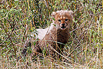 Africa, Kenya, Masai Mara. A cheetah cub peers through the grass.