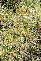 Pinus densiflora Golden Ghost, variegated pine tree, Variegated Japanese Red Pine, a semi-dwarf evergreen