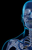 An anterior view of the bones of the face, neck and shoulder. The surface anatomy of the body is semi-transparent and tinted green. Royalty Free