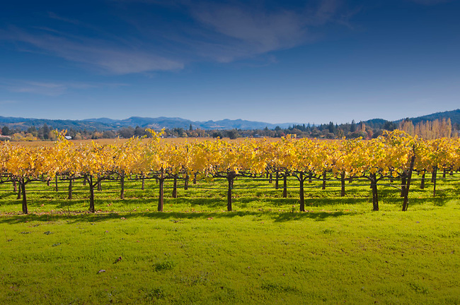 Fall vineyard in St. Helena