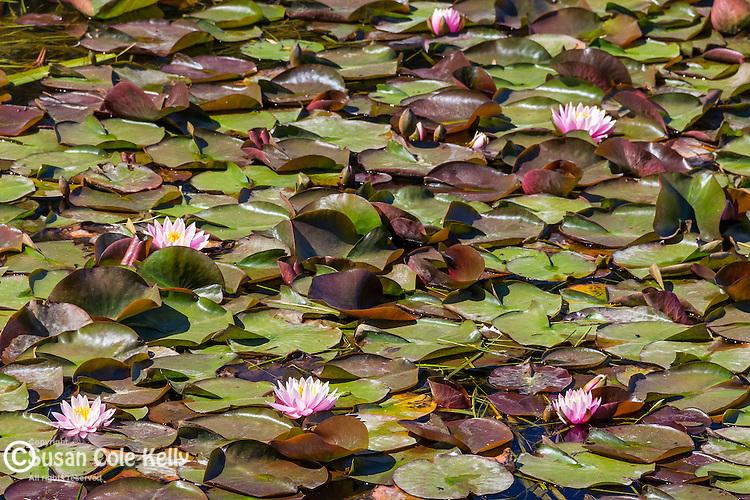 Water Lilies in Deer Isle, Maine, USA
