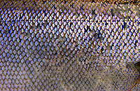 Atlantic Salmon Catch and Release Fly Fishing in Iceland. Fish Scale close up.
