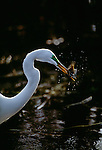 Great Egret with speared fish, Everglades National Park, Florida