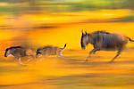 Wildebeest and calves on the run, Serengeti National Park, Tanzania