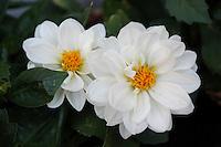Fiori.Flowers.Dalia...
