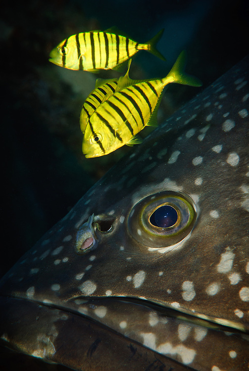 Close up of a giant grouper with golden trevallies, Mabul, Sabah, Malaysia.