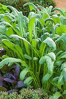 'Early Mibuna' Brassica rapa Spinach Mustard, edible greens; Sunset demonstration organic garden; Cornerstone Gardens. Sonoma, California