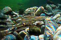 Mimic Shiners<br /> <br /> Chrisopher Morey/Engbretson Underwater Photo