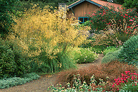 Stipa gigantea, large flowering ornamental grass in border by path in drought tolerant California garden