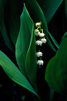 "White ""pearl"" flowers of Convallaria majalis, Lily of the Valley, between leaves, Creekside Gardens, Roberts Creek, BC"