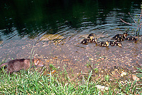 Baby coyote crouches in water sneaking up on group of baby ducks who appear completely unconcerned.