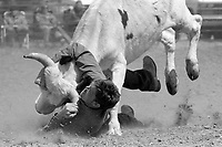 A steer wrestler takes his quarry down at the Earl Anderson Memorial Rodeo in Grover, Colo.