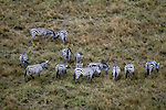 Africa, Kenya, Masai Mara. Zebra herds forming part of the Great Migration in the Masai Mara.