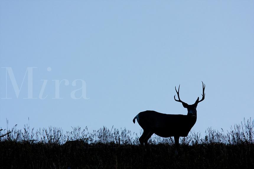 Mule Deer Silhouette Male mule-deer and meadow