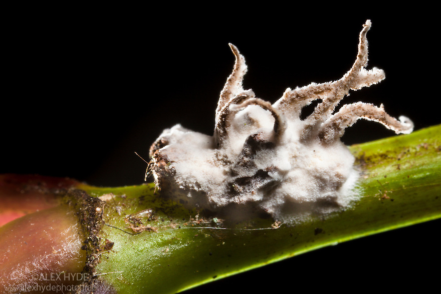 Entomopathogenic fungus covering its deceased host, a spider, which is still clinging to the plant stem on which it died. Tropical rainforest, Andasibe-Mantadia NP, Madagascar.