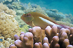 Arc-eye or Ring-eye Hawkfish (Paracirrhites arcatus) on Acropora palifera coral - Agincourt Reef, Great Barrier Reef