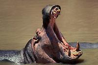 645505006 a wild hippopotamus hippopotamus amphibius opens its jaws in a threat posture while feeding in the mara river in the masai mara reserve in kenya east africa